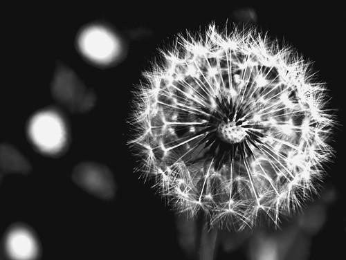 フリー写真素材, 花・植物, タンポポ, モノクロ写真, 種子,
