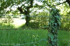 48 | Summer is here...for a day (elliemcc11) Tags: trees summer england green grass fence day dof bokeh rusty ivy lancashire barbedwire friday fenced project365 nikond40