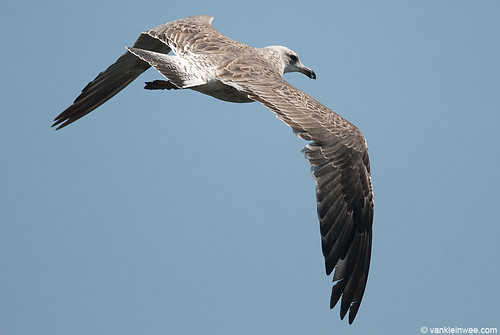 Lesser Black-backed Gull, 2cy, B[VE1E]