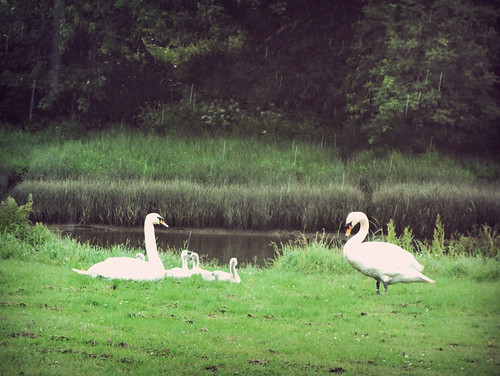 Swans and their cygnets