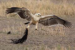 Juvenile Tawny Eagle  (Aquila rapax) helps remove the last remains of the Wildebeest. (Hector16) Tags: africa olareorokconservancy kenya wildlife kicheche olare masaimara narokcounty ke ngc aquilarapax