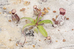 Nepenthes kampotiana rosette (Arddu) Tags: nepenthes cambodia carnivorous plant flora