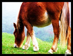 Itsasertzeko behorra. (Galdox) Tags: horses horse animal animals caballo caballos euskalherria euskadi basquecountry paisvasco zaldia zaldiak behorra