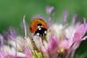 "ladybug (aziouezmazouz) Tags: macro cute beauty insect colours bokeh ladybug beautifulscenery bellissima vibrantcolours macroextreme ourplanet macrolife nikond300 stunningsupershot ""magicalmoments"" ""goldsealings"""