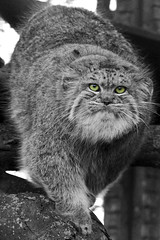 Wild Cat (Julia-D) Tags: kent pallas pallascat wildlifeheritagefoundation whf
