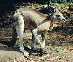 Eastern Gray Kangaroo (Roamer61) Tags: zoo australia melbourne kangaroo marsupial