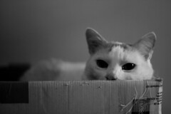 (trucinette) Tags: max cat chat box scatola maxino gattto thelittledoglaughed unamourdechat