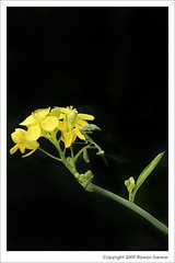 Yellow Mustard Flower & the Praying Mantis (z) Tags: pakistan black flower nature yellow mantis praying mustard punjab lahore