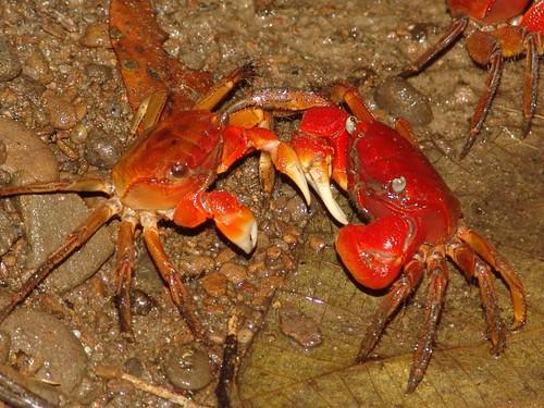 後灣當地的強勢物種之一,中型仿相手蟹。圖片來源:營建署墾管處