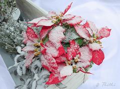 091220 rn 150808  Ththi ( 6 pics ) (thethi (don't like beta groups)) Tags: plante belgium belgique hiver poinsettia jardin noel neige nol maison gel dcembre namur rosedenol wallonie euphorbe euphorbiapulcherrima setflowers setnamurcity rubyinv setmorethan25forexplore20082009 albumdcembre faves37