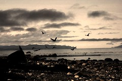 Feast of Feathers (Sionth) Tags: bird birds eagle block westcoast eagles sointula malcolmisland flickrchallengegroup