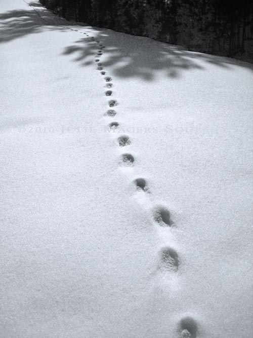 The tracks of a solitary bobcat on a hunt undetected by man or mouse.