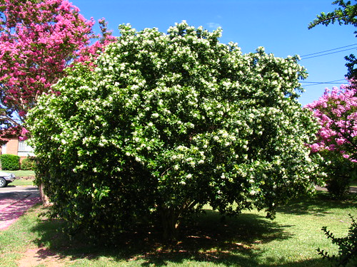 Murraya and crepe myrtles