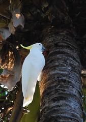 Cockatoo whit (tkmckinn) Tags: birds australia july09