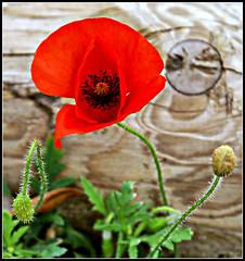 Papoila/ Poppy (gilxxl) Tags: stilllife portugal sony flor vermelho legacy óbidos papoila dslra100 concordians platinumheartaward miasbest daarklands flowerparadise flickrvault trolledproud crazygeniuses exoticimage gilbertooliveira gilxxl