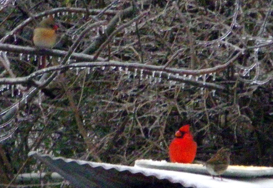 Cardinals and sparrow eat chopped corn on snow-covered shed 10 feet from World Peace Wetland Prairie IMGP1737