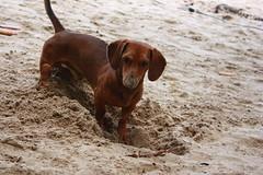 desistindo (Maira Prado) Tags: cão areia olhos cachorro buraco pelo enterrado sujo focinho cavar cavando enterrar