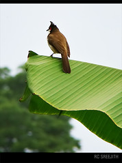 waiting...... (RC Sreejith | ) Tags: bird nature leaf kerala bananaleaf sonydsch50 jith1312 sreejithrc rcsreejith keralabird