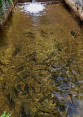 """""""Trutas do Rocio"""" (Mrcia Valle) Tags: trees brazil nature water gua brasil nikon natureza fishes rocio peixes rvores petrpolis d60 trutas greenverde mataatlntica estadodorio"""