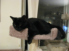 Beautiful Chloe on the New Cat Tree