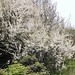 prunus-spinosa_sleedoorn