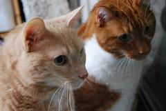 honey and ginger (meejoebee) Tags: pet cats pets animal animals cat furry friend feline kitty kitties felines spca society adopt oakville adoption humanesociety animalshelter oreengeness oakvillehumanesociety