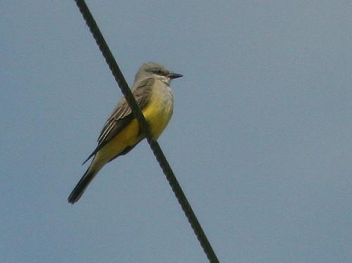 Western Kingbird 20100215