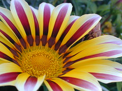 Clown (C-Smooth) Tags: flowers red macro yellow closeup gazania valtellina valmalenco wonderfulworldofflowers doublyniceshot tripleniceshot