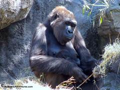 IMG_3130-WDW-DAK-baby-gorilla