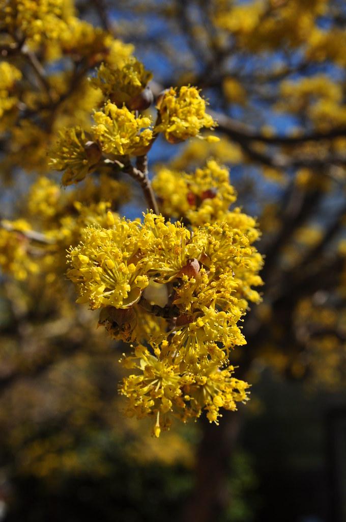 Cornus officinalis 5