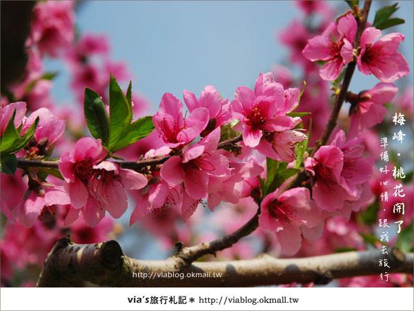 【梅峰農場桃花緣】最美的桃花隧道,就在南投梅峰這裡~(上)27