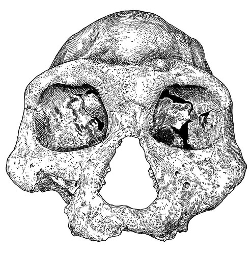 Dmanisi D3444 skull, frontal view