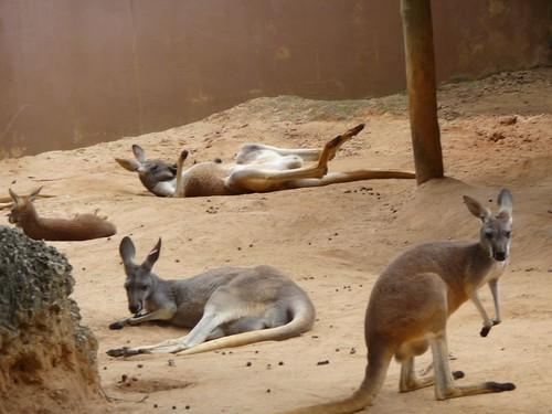 silly kangaroos.
