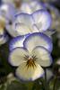 garden viola (NYBG) Tags: nyc travel flower nature beauty garden natural blossom coconut bronx bloom destination swirl viola sorbet nybg thenewyorkbotanicalgarden leonlevyvisitorcenter