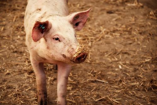 Pigs-5