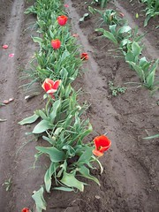 100_1179 (Smith's are Ore-Gone!) Tags: festival tulip