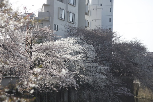 Cherry blossoms at Kanda river 3