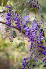 Wild Wisteria (Mahnie) Tags: flowers wild vacation reflection leaves forest myrtlebeach woods purple branches southcarolina wisteria canon100mmmacrof28 meherspiritualcenter canon450d