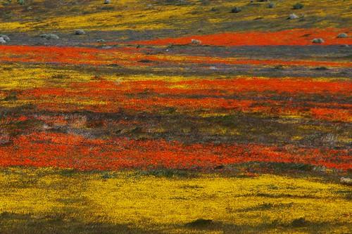 Antelope Valley Poppy Reserve - April 16,2010