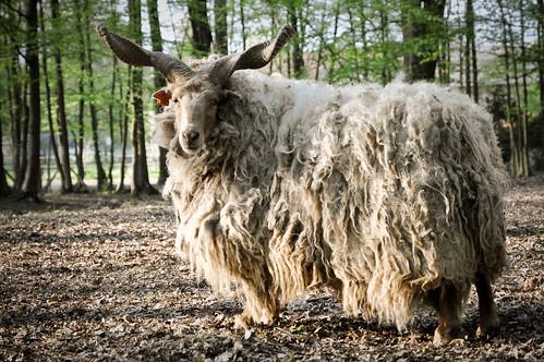 [フリー画像] 動物, 哺乳類, 羊・ヒツジ, 201004191100