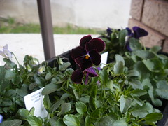 Potting up Pansies