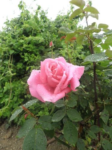 rosas e chuva