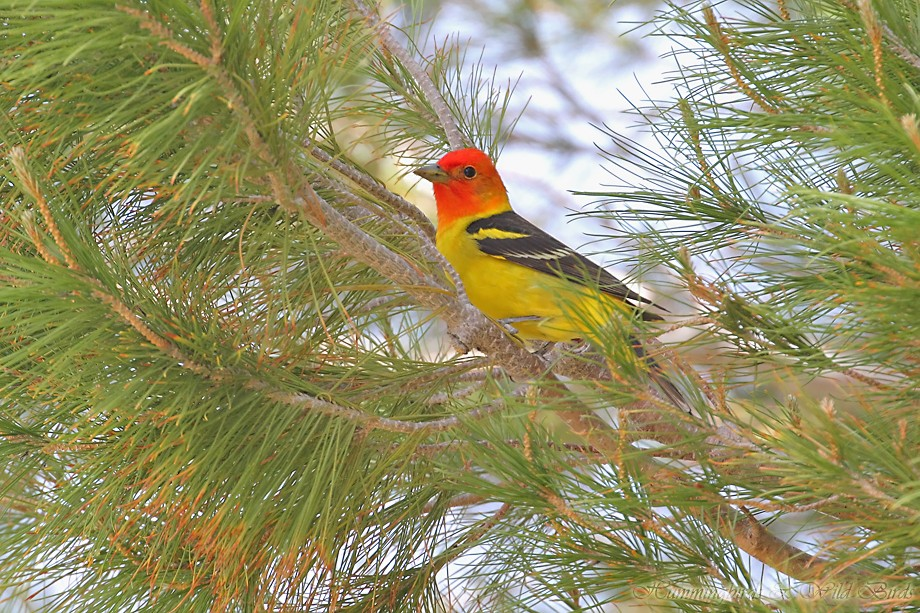 Western Tanager 05211111