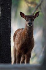 Through the Trees (gainesp2003) Tags: forest spring woods colorado wildlife young co elk hiding calf rockymountainnationalpark calving spraguelake