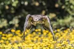 Buzzard (Buteo buteo) (sfrancis23) Tags: bird avian raptor flight wings feather beak eyes yellow green flowers meadow gloucestershire uk nikon d5 400mm28 england nature wildlife