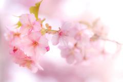 Spring pink (Tomo M) Tags: cherryblossoms kawazusakura spring pink flower petal branch bokeh dof 松田山 japan macro