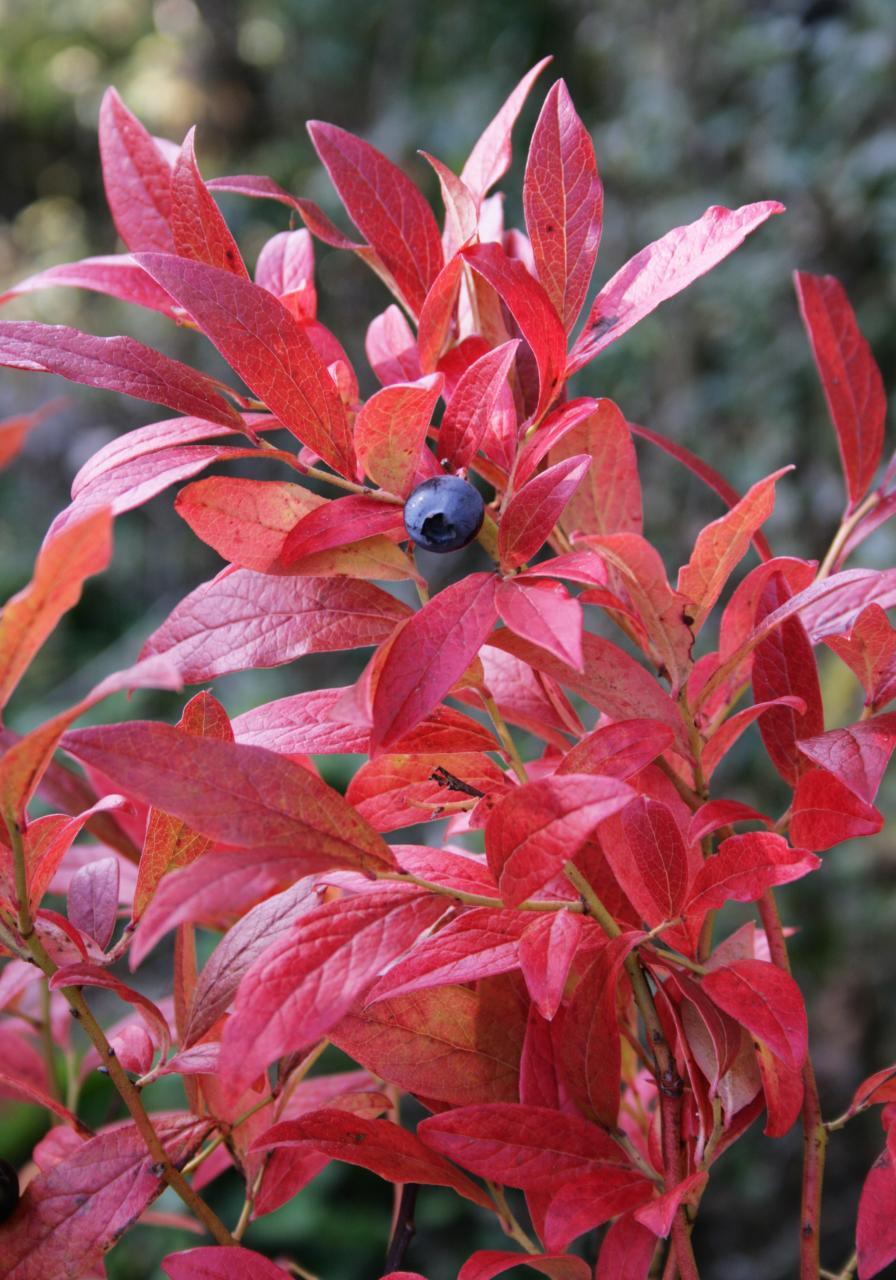 last blueberry