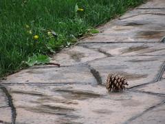 Pine cones were everywhere from that big pine tree (debstromquist) Tags: illinois il walkways schools dandelions pinecones westernsprings highschools lyonstownshiphighschool southcampusperformingartscenter