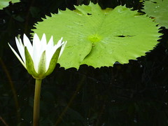 A lilly in the mangroves.