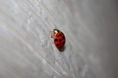 Lady bird2 (samspics1234) Tags: light red white black bird lady insect fly spots age ladybird